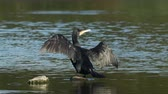 great cormorant : Cormorant (Phalacrocorax carbo) perched on a rock with spread open wings drying