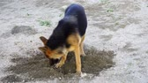овчарка : beautiful German shepherd dog played in the yard