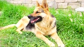 arquejo : German shepherd dog lies on a green young grass