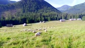 ovelha : Flock of sheep grazing in the Tatras at dawn