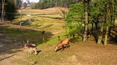rotwild : Wild herd of deer in the forestin sunny day Videos