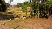 bucks : Herd of deer in the forest in spring Stock Footage