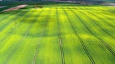 сельскохозяйственный : Blooming rape fields in sunny day, aerial view, Poland