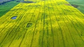 сельскохозяйственный : Aerial view of big and yellow rape fields in Poland Стоковые видеозаписи