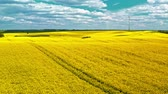 estupro : Flying above yellow rape fields and wind turbine, Poland Stock Footage