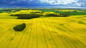 energia : Big blooming yellow rape fields and white turbine from above, Poland