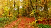 ahorn : Colorful footpath full of leaves and old trees in the autumn forest, Poland