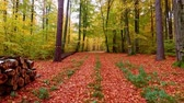 günışınları : Stunning footpath full colorful leaves in the autumn forest, Poland Stok Video