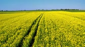 gerte : Yellow rape fields in spring from above in sunny day, Poland Stock Footage