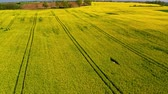 rostlina : Yellow rape fields, aerial view in sunny day, Poland