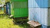 wosk : Beehives with bees in countryside, Poland in summer Wideo