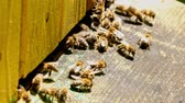 wosk : Closeup of bees enetre to beehive in sunny day, Poland