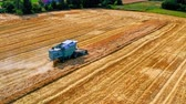 Combine harvesting golden ripe wheat field. Harvester working in field, aerial view