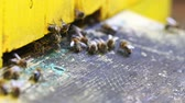 пчела : Closeup of bees enter to beehive in summer day, Poland