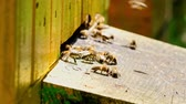 petek : Closeup of bees enetre to yellow beehive in sunny day, Poland Stok Video