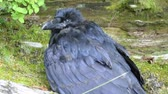 Closeup of injured adult black raven in natural surroundings in Sitka, Alaska