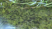 жаба : Thick concentration of Eleutherodactylus rain frog tadpoles swimming in shallow pond