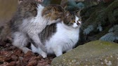 cattish : Mating cats outdoor Stock Footage
