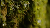 musgo : A shallow depth of field, ECU of a drop of water slowly forming and dropping from a patch of moss. Stock Footage
