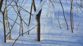 deshielo : Icicles on the tree are melting, a drop of water