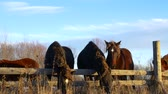 pastoreio : wild Brown and black horses eating hay in late evening autumn light, at the fence