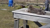 kotki : life of cats in the village, rest on a wooden table Wideo
