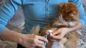 preocupacion : the veterinarian cuts the claws on the white legs of a red cat.