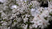 floral : Blooming tree. White flowers on a tree in the spring park. Spring garden