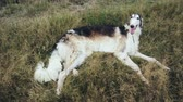 greyhound : Russian hound on walk in a field in grass
