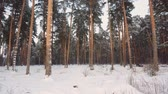 fabulous winter frosty white forest with dark tree trunks