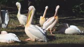 salgueiro : white pelicans sitting on the river bank