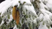needle : Coniferous evergreen tree with seed cone. Snow falling.