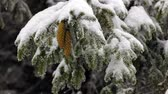 falling snow : Coniferous evergreen tree with seed cone. Snow falling.