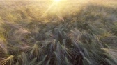 пшеница : Top down view of golden wheat gently swaying in breeze