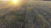 vertical growth : Aerial view. Flight above the ripe golden wheat field at sunrise.