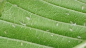 temas animais : aphids on a green leaf under a microscope