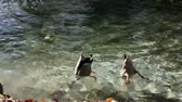 animal : Video clip of funny ducks searching for food under the water.