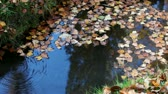 umbrie : Video clip of small pond with fallen leaves. Dostupné videozáznamy