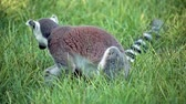 catta : Video clip of ring-tailed lemur (Lemur Catta) eating in the grass. Stock Footage