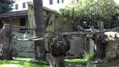 catta : Video clip of ring-tailed lemurs (Lemur Catta) playing.