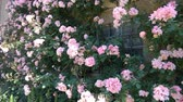 abundante : Pauls Himalayan Musk Rose, one of the best and most beautiful rambling roses. Stock Footage