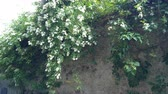 scrambling : Wall covered with Rosa multiflora, a species of rose known commonly as multiflora rose, baby rose, Japanese rose, many-flowered rose, seven-sisters rose, and Eijitsu rose.