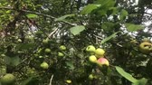 crab apple : Fruits of European crab apple, Malus Sylvestris, a species of forest apple. Stock Footage