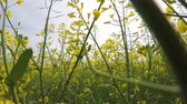 low season : Walking in a flowering rapeseed field, shooting close up, from a low point, among the plants. Stock Footage