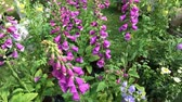 digoxin : Close-up view of pink foxglove flowers (Digitalis Purpurea) in a spring garden. Stock Footage