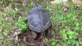 tartaruga : Yellow ears turtle (Trachemys scripta scripta) laying eggs in a whole in the ground.