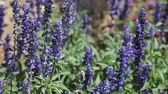 herbaceous : Purple sage flowers in a park in July. Stock Footage