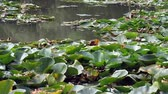 sport fishing : Fishing rods leaning on water lily leaves in a small pond.
