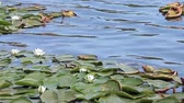 lake aquatic : European white water lilies (Nymphaea alba),  in their natural environment.