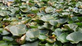 Лилли : European white water lilies (Nymphaea alba),  in their natural environment, close-up view. Стоковые видеозаписи